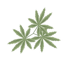 Vegetable and Herb, An Illustration of Fresh Cannabis, Hemp or Marijuana Leaves Used for Medicinal Purposes or Recreational Drug.